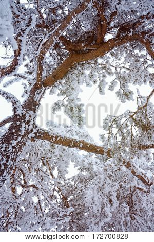 Beautiful tree covered with snow close-up view in the frosty winter the Christmas forest