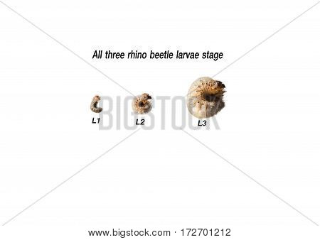 all three rhino beetle larvae stage, rhino beetle