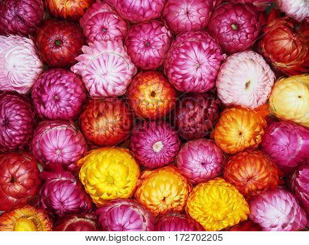 Close up colorful everlasting or straw flowers for texture background