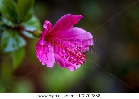 Hibiscus rosa-sinensis lilac-pink flower in with rain drops on petals on green foliage background close-up selective focus