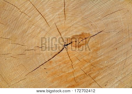 A close up of the cracked cut of a light yellow tree.
