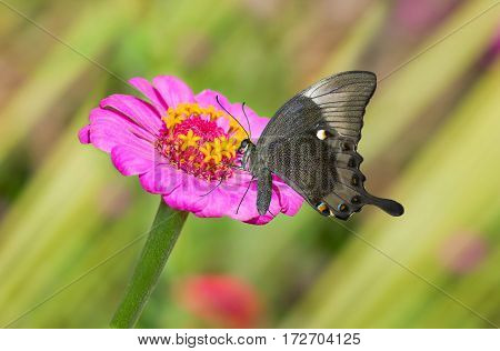 Beautiful Zinnia flower in pair with black butterfly in a summer garden.