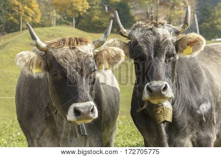 Image of two horned cows in a field