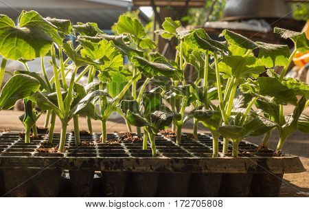 pumpkin seedlings ready to be planted, Seedlings that germinate from seed