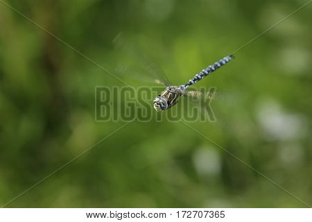 An emperor dragonfly captured during mid flight