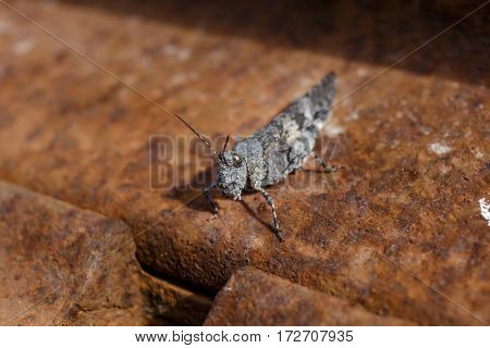 CLose up macro shot of a grasshopper against rusty background