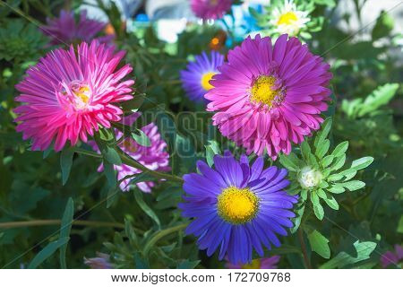 Colored, colorful daisies on a green blurred background in the summer garden. Blue and red large flowers done with a soft focus. Flowers photographed in close-up