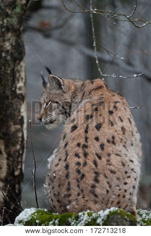 Lynx (bobcat) portrait.  Wildlife image in Bayerischer Wald National Park. Lynx resting outdoor wintertime.