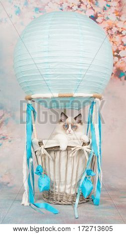 Cute blue eyed ragdoll baby cat in a blue air-balloon on a romantic background