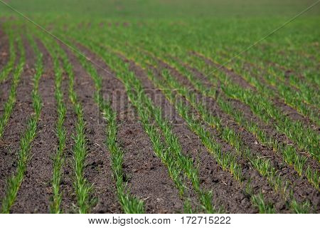 Field With Sprouted Winter Crops In A Row, Low Wheat Before Hibernation.