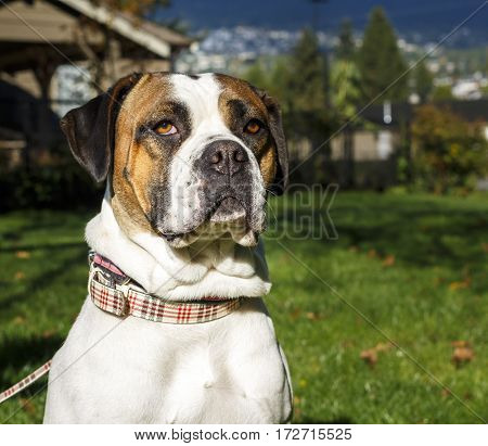 Front portrait of a large Boxer dog