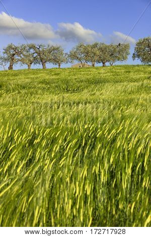 Springtime.Between Apulia and Basilicata: hilly landscape with green cornfields.ITALY. Ears of corn in the wind.Spring countryside with immature cultivations and olive trees.