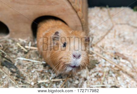 Cute red guinea pig. Close up photo.