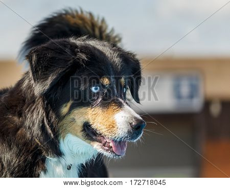 Image of an Australian Shepherd dog with piercing blue eyes