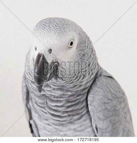 Head of Grey red tale parrot