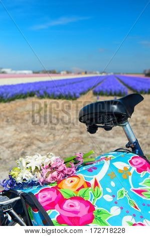 Colorful typical Dutch landscape with bike and Hyacinth flower bulbs in rows