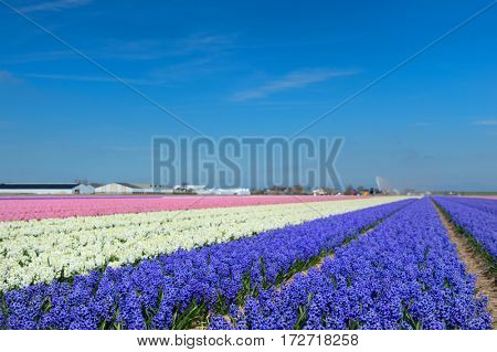 Colorful typical Dutch landscape with Hyacinth flower bulbs in rows