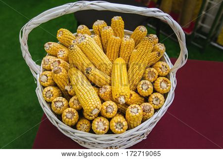 Genetically modified corn in basket at agricultural exhibition, top view, close up