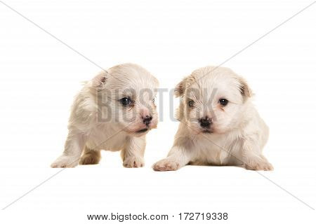 Two white four weeks old boomer puppies lying and standing isolated on a white background