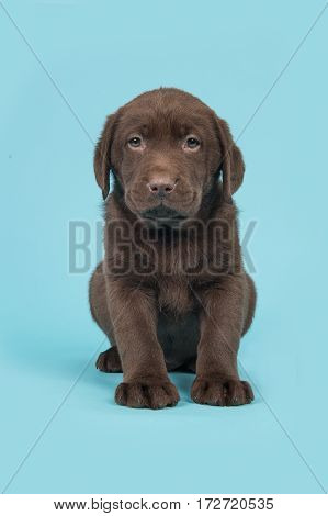 Chocolate brown labrador retriever puppy sitting on a blue background