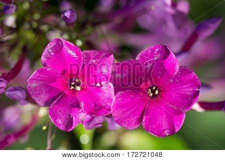 2 pink flowers Phlox with water drops after the fresh rain. Still life. Spring background. Extream closeup macro shot.