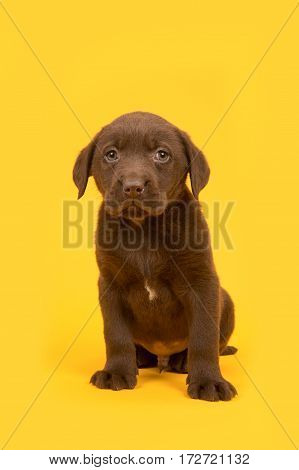 Chocolate brown labrador retriever puppy sitting on a yellow background
