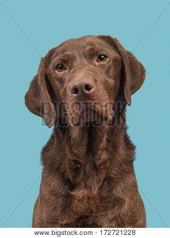 Chocolate brown labrador retriever portrait on a blue background