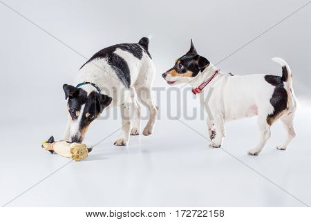 Fox terrier and Jack Russell Terrier playing in studio on grey background. Dogs playing with a toy