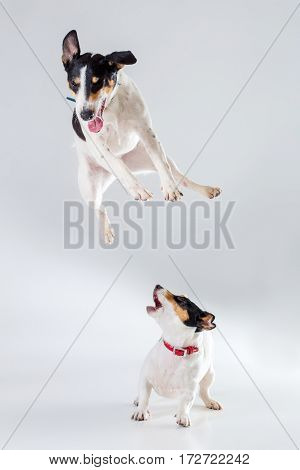 Fox terrier and Jack Russell Terrier playing in studio on grey background. Dogs jumping in the studio