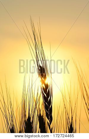 Golden Silhouette of Wheat Stem Shot At Sunset