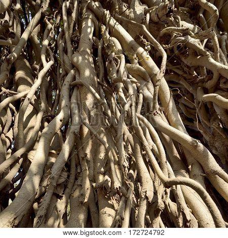 Close up of Banyan Tree Roots Near Mumbai