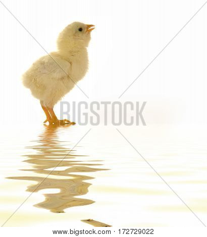 chick isolated on a white background, studio shot