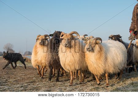 Herd of rural sheep with a sheepdog on a winter day with blue sky