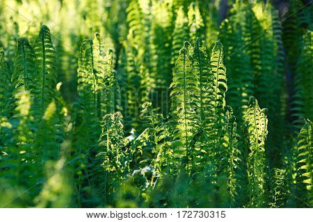 Green fern leaves in a forest background