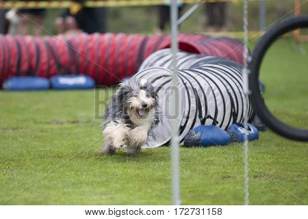 Fast Bearded Collie running like crazy. He is playful and enjoying on agility competition.