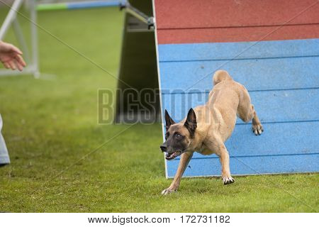 Belgian Shepherd looking with big eyes he is very attentive and waiting for the next command of his owner. He is standing on A-frame zone with his rear legs. Obedient dog with good contact with his handler. It is excellent team work.