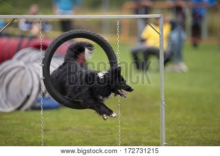 Dog Jumping Through Agility Hoop. Happy and cute Australian Shepherd doing agility tricks.