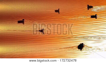 Ducks swimming on pond in golden morning light