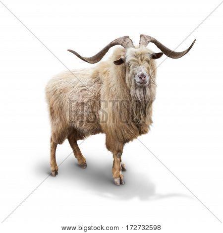 Wild mountain goat Isolated on the white background