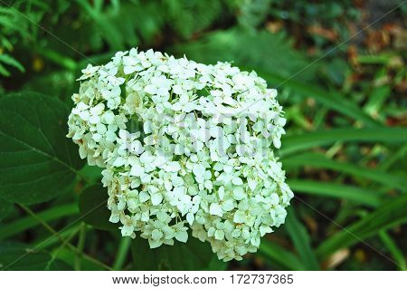 Beautiful Hydrangea Flower