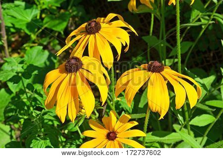 Yellow Rudbeckia Flower