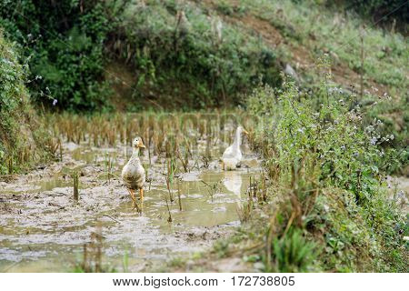 Family of ducks are swimming in mud at rice fields in Sapa Vietnam