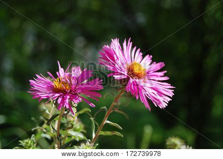 Beautiful Aster Flower