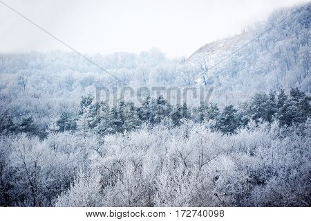 Winter Forest In Hoarfrost