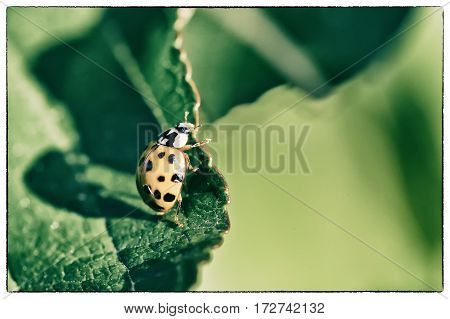 Close up of one yellow Ladybird beetle or a Ladybug on green leave sunlight projecting long shadows of the insect