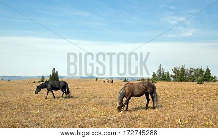 Band of Wild Horses on Sykes Ridge in the Pryor Mountains in Montana USA