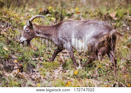 Grey goat with horns grazing in the meadow mammals. Pet. Goat eating grass
