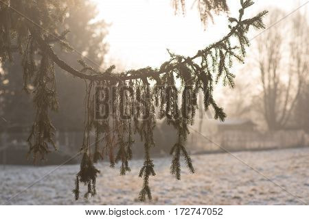Fir silhouette on field background frosty sunny morning