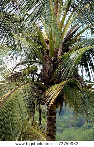 Coconuts growing on coconut tree in Sarawak Borneo hillside