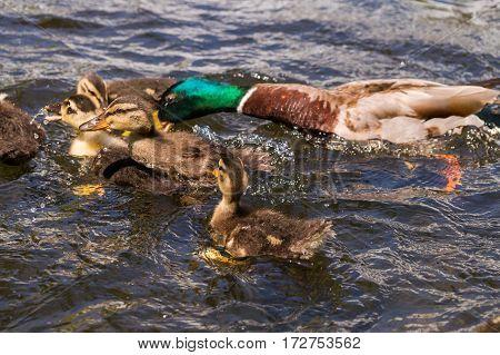 Close-up of some ducklings. Little Ducks. Mallard Ducks